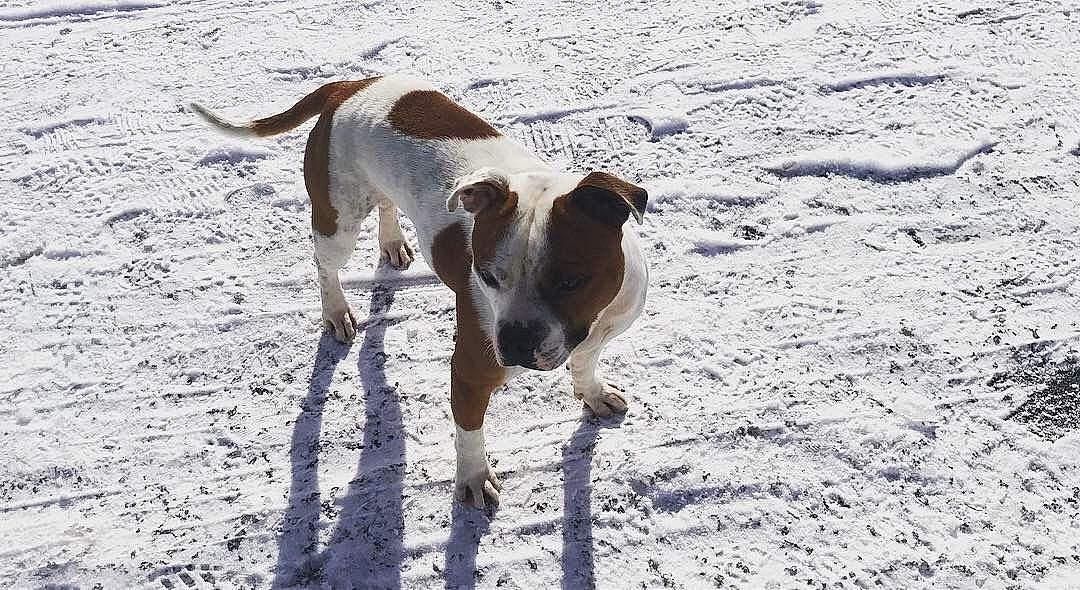 Gradur, chien american staffordshire terrier Concours